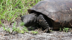 Gopher Tortoise Eating Close Up Stock Footage
