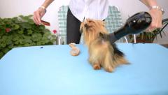 Blow-Drying a Yorkshire Dog Stock Footage