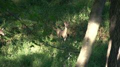 Deer in Woods - Young Buck Stock Footage
