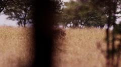 Warthog Walking in Long Golden Grass Stock Footage