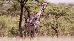 Baby Giraffe in the Bush Stock Footage
