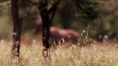 African Dear with Horns in Long Golden Grass - stock footage