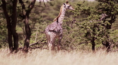 Baby Giraffe Walking in the Bush Stock Footage