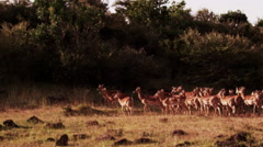 Impala Running at Sunset in Slow Motion Stock Footage