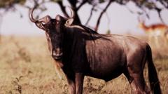Wildebeest Standing Still Stock Footage