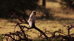 Monkey sitting on Branch Stock Footage