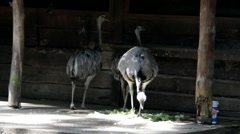 Ostriches have lunch in the shade of the canopy Stock Footage