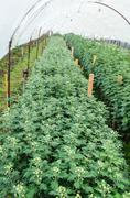 Inside greenhouse of chrysanthemum flowers farms Stock Photos