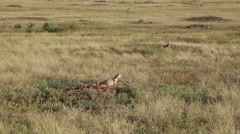Prairie Dogs in the wild Stock Footage