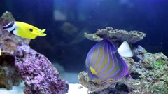 Angelfish (Pomacanthus annularis) And Longhorn Cowfish (Lactoria Cornuta) Stock Footage
