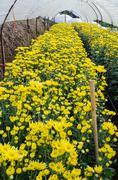 inside greenhouse of yellow chrysanthemum flowers farms - stock photo
