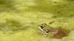 Garden Pond Frog Jump C Stock Footage