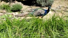 Peacock in search of food in Zoo of Duisburg. Germany Stock Footage
