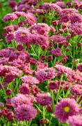 magenta chrysanthemum morifolium flowers farms - stock photo