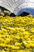 Inside greenhouse of yellow chrysanthemum flowers farms Stock Photos