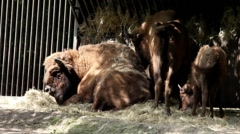 European bison (Wisent) lying on  ground after good dinner at Zoo Stock Footage