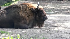 European bison (Wisent) lying on the ground after good dinner at Zoo Stock Footage