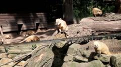 Nasua. Coati. A south american coati at the zoo in Duisburg. Germany Stock Footage