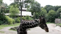 Giraffe considers spectators who came to his aviary - stock footage