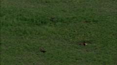 Mongolia Plains Black Vultures Stock Footage
