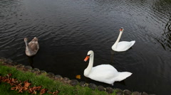 Two beautiful white swans and their grey swanling Stock Footage