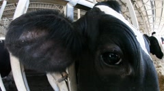 Cow smells, licks and easts straw, shows wet and moist nose Stock Footage
