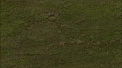 Mongolia Plains Gazelle Stock Footage