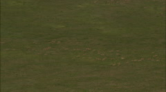 Mongolia Plains Gazelles Stock Footage