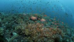 Thriving healthy coral reef alive with marine life and shoals of fish - stock footage