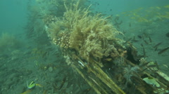 Airplane wreck underwater used as artificial reef for schools of golden sweepers Stock Footage