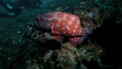 Coral grouper and white banded cleaner shrimp on coral reef Stock Footage