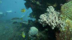 Oriental sweetlips fish sheltering in coral reef Stock Footage