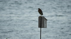 Green Heron sitting on perch in front of dusk ocean 4k Stock Footage