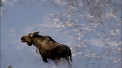 Frozen Tundra Elk Stock Footage