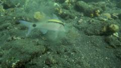 Goatfish feeding on ocean floor Stock Footage