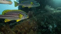 Oriental sweetlips fish sheltering in the Liberty shipwreck Stock Footage