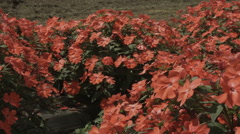 Hananomiyako Red flowers pan, non color graded Full HD (1920x1080) Stock Footage