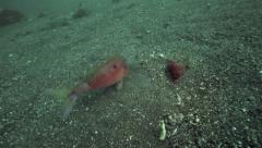 Longbarbel goatfish feeding on ocean floor Stock Footage