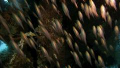 Shoal of golden sweeper fish Stock Footage