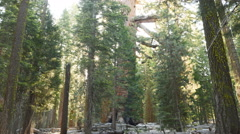 4K Time Lapse of Giant Sequoia Grove with Morning Sun Ray in Yosemite -Close Up- Stock Footage