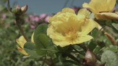 Hananomiyako zoomed up flower, non color graded Full HD (1920x1080) Stock Footage