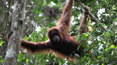 Orangutan hanging from branch in jungle Stock Footage