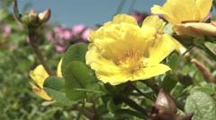 Hananomiyako zoomed up flower, color graded 4K (3840x2160) Stock Footage