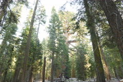 6K Time Lapse of Giant Sequoia Grove with Morning Sun Ray in Yosemite Stock Footage