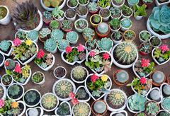 many cacti in pots - stock photo