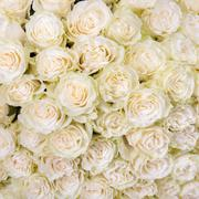 abstract background of white roses - stock photo