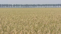 Wheat production on reclaimed land, flat bottom of the former Zuiderzee Stock Footage