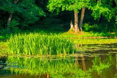 Stock Photo of young cattail marsh in the beautiful sunny day
