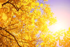 Yellow autumn leaves on tree over sunny sky background. Stock Photos