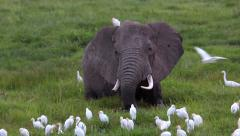 ELEPHANTS AFRICAN WILDLIFE CATTLE EGRETS Stock Footage